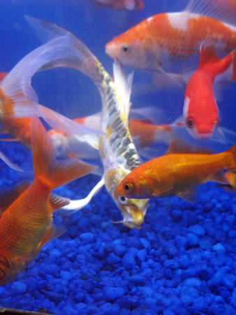 coy fish: Gold fish and one cleaner fish in water against blue rocks Stock Photo