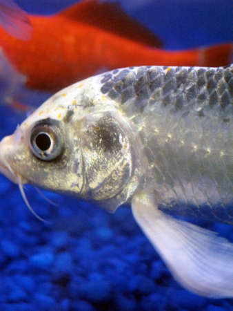 coy fish: Silver fish next to goldfish in aquarium with blue rocks