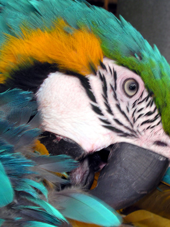 Profile of parrot cleaning it's feathers Banco de Imagens - 1534889