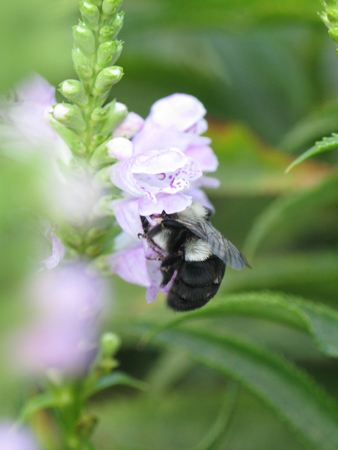 Bumble bee digging to pollenate a lavender flower Stock Photo - 1536078