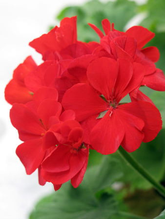 Red geranium also called cranesbill from the genus Pelargonium