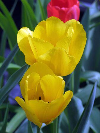 1 つの赤いチューリップとの 2 つの黄色の甘いハーモニー チューリップ