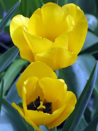 黄色の甘いハーモニー チューリップ側ビュー 写真素材