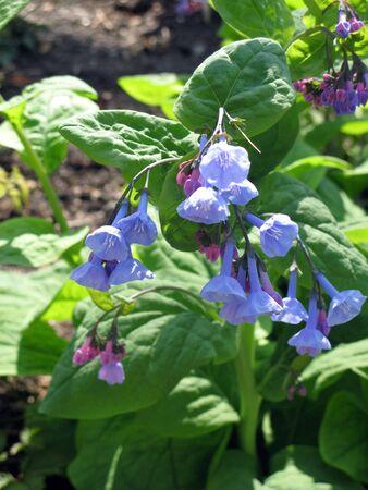 shaped: Blue bell bonnet shaped flowers