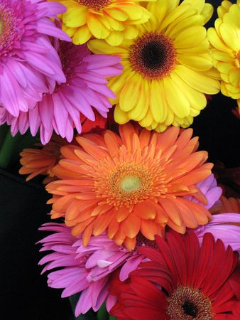 Gerbera or Gerber Daisies in pink, orange, red and yellow colors