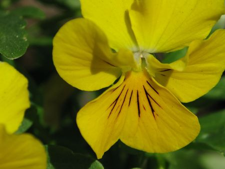 botan: Yellow Pansy Stock Photo