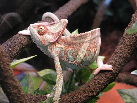 Profile of a Veiled Chameleon on a branch photo