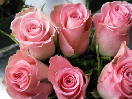 pink roses: Six aligned pink roses