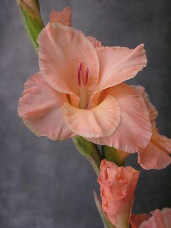 iridaceae: Orange Gladiolus also known as Gladiolea flowers