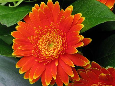 Orange Gerber Daisy full crop photo