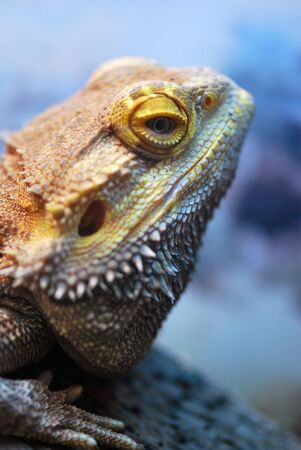 bearded dragon lizard: Profile of a Bearded Dragon Lizard Stock Photo