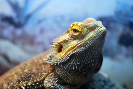 A bearded Dragon Lizard in an aquarium