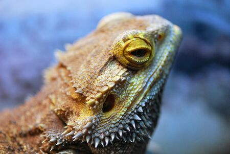 cold blooded: Bearded Dragon Lizard looking away Stock Photo