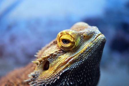 bearded dragon lizard: A bearded Dragon Lizard close-up Stock Photo