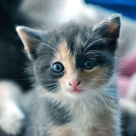 Kitten with big blue eyes