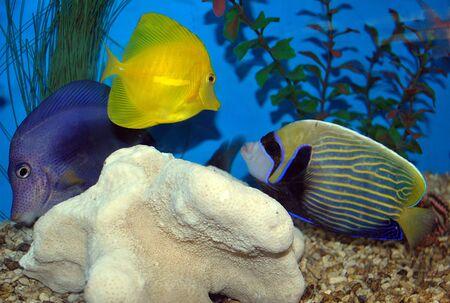 tang: Blue, yellow and clown Tang fish in salt water aquarium Stock Photo