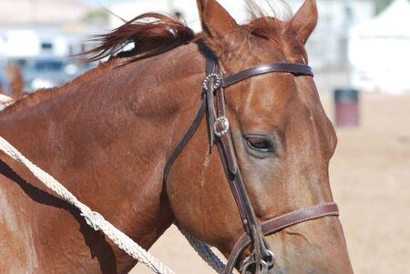 Close-up of Brown Horse Banco de Imagens