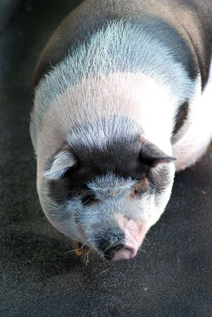 potbellied: Pot-bellied Vietnamese Pig