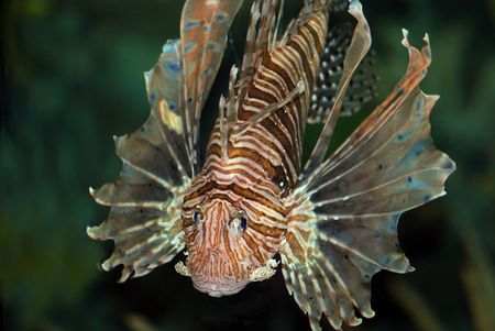 Lionfish with fins expanded photo