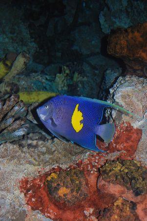 pomacanthus: Half-Moon Angelfish, Pomacanthus maculosus