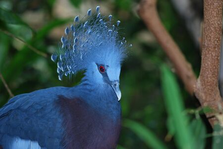 Victoria Crowned Pigeon, Goura Victoria photo