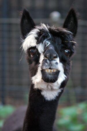 Lama Looking at Camera photo