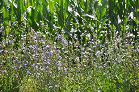 corn flower: Corn Stalks with wild flowers