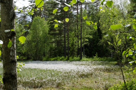 Cotton grass in forest