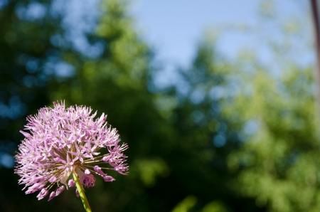 Violet garden onion