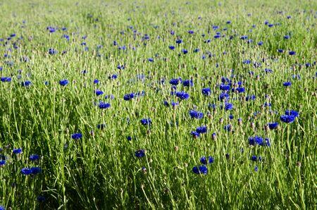 Cornflower field Stock Photo