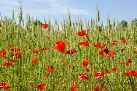 In poppy field Stock Photo - 14087235