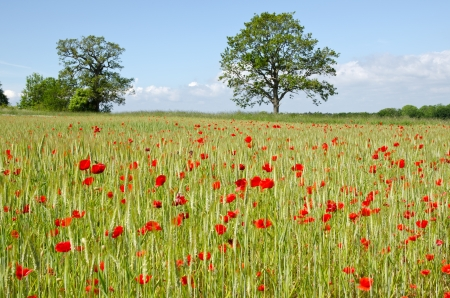 Poppy and corn field photo
