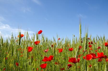 Blue sky and poppy field