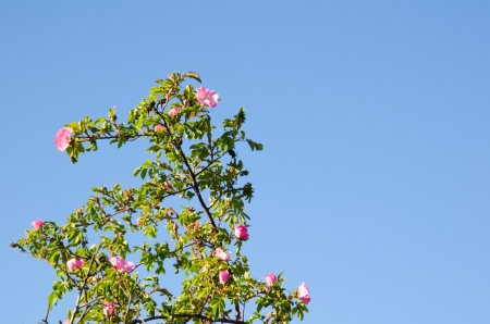 Wild rose Stock Photo - 14191678