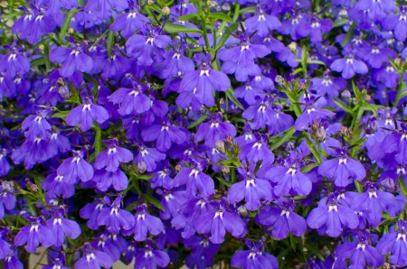 Lobelia background Stock Photo - 14191694