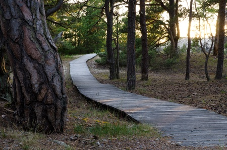 Pine forest at beach with wooden foothpath photo