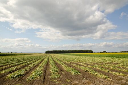 Field of harvested onions Stock Photo - 15498675