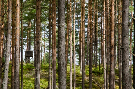 Hunting tower in a pine tree forest Stock Photo