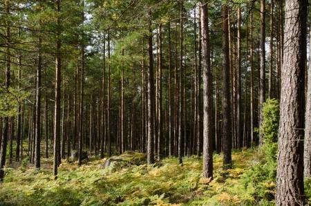 Pine forest with rocks, moss and golden bracken