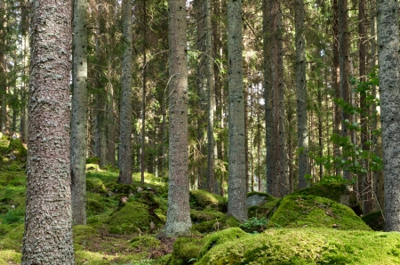 Spruce trungs in a mossy forest Stock Photo