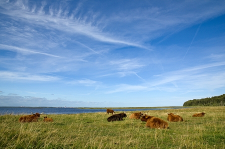 Highland cattle resting by the sea