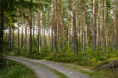 Road at a pine tree forest photo