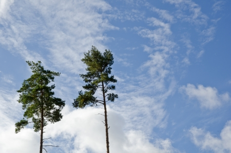 Two tall pine trees Stock Photo - 15361986