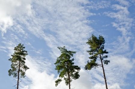 Three pine trees Stock Photo - 15361988