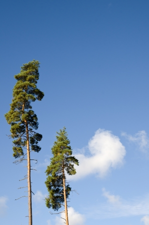 Two pine trees and blue sky Stock Photo - 15361987
