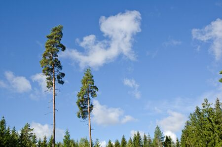 Two tall pine trees in a spruce forest Stock Photo - 15361991