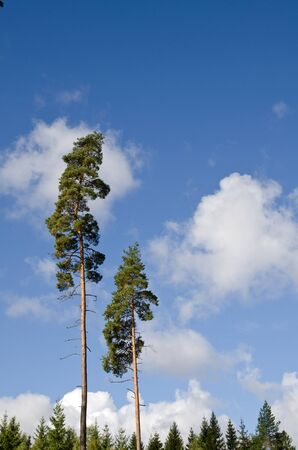 Two tall trees Stock Photo - 15361989