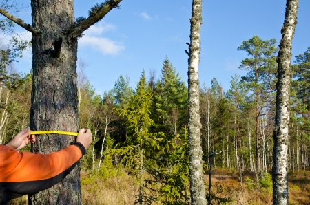 Measuring a tree trunk