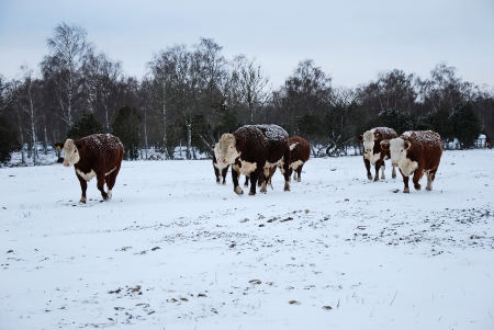Cattle in snow Stock Photo