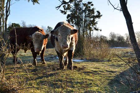 hereford: Hereford bulls